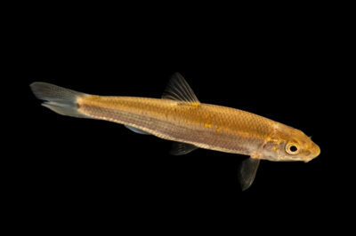 Photo: A largescale stoneroller (Campostoma oligolepis) photographed at the Alabama Aquatic Biodiversity Center in Marion, AL. This fish was collected from Cahaba River, Perry County, AL.
