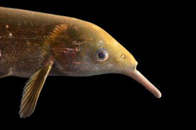 Photo: An elephant nose fish (Gnathonemus petersii) at the Medicine Park Aquarium and Natural Sciences Center in Medicine Park, OK.