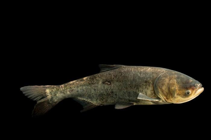 Photo: A bighead carp (Hypophthalmichthys nobilis) at the Schramm Education Center near Gretna, NE.