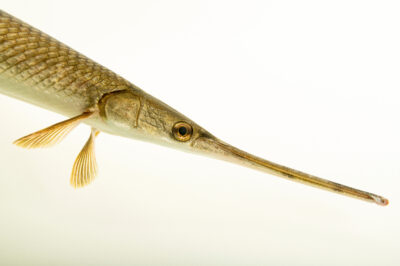 Photo: A longnose gar (Lepisosteus osseus) at the Schramm Education Center near Gretna, NE.