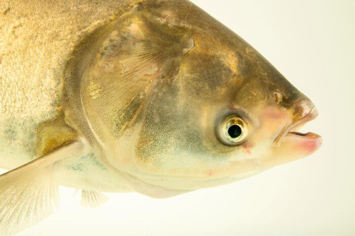 Photo: A silver carp (Hypophthalmichthys molitrix) at the Schramm Education Center near Gretna, NE.