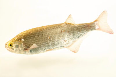 Photo: A goldeye (Hiodon alosoides) at the Schramm Education Center near Gretna, NE.