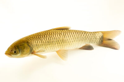 Photo: A grass carp (Ctenopharyngodon idella) at the Schramm Education Center near Gretna, NE.