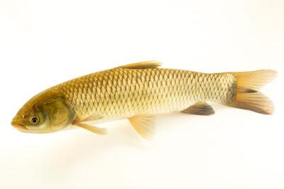 Photo: A grass carp (Ctenopharyngodon idella) at the Schramm Education Center near Gretna, NE.