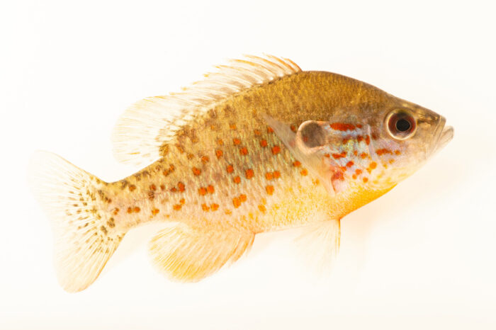 Photo: A juvenile orangespotted sunfish, (Lepomis humilis) at the Center for Aquatic Mollusk Programs in Lake City, Minnesota.