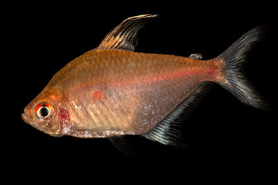 Photo: A bleeding heart tetra (Hyphessobrycon erythrostigma) at the Institute of Marine Mammal Studies (IMMS) at Gulfport, MS. This animal is part of their public education area.