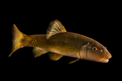 Photo: A redspot chub (Nocomis asper) at the Oklahoma Aquarium.