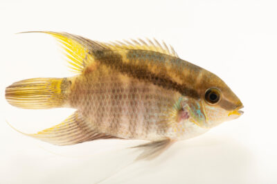 Photo: A flash cichlid (Mesonauta festivus) at the Denver Zoo.