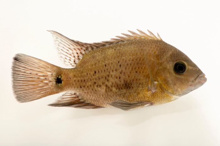 Photo: A juvenile pantano cichlid (Cincelichthys pearsei) at the Denver Zoo.