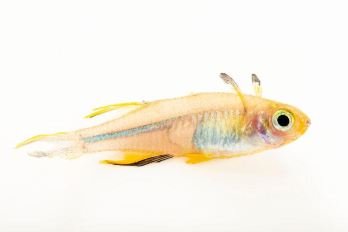 Photo: A Celebes rainbowfish (Marosatherina ladigesi) at the Denver Zoo.