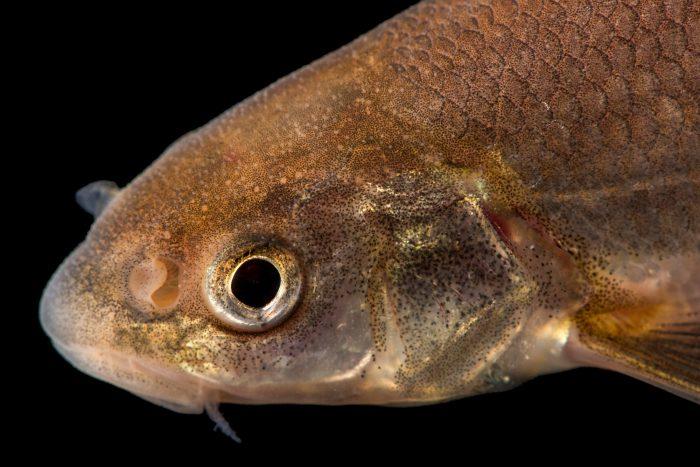 Photo: Flathead chub (Platygobio gracilis) collected from the Rio Grande River near Albuquerque, New Mexico.