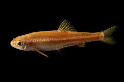 Photo: Roundnose minnow (Dionda episcopa) collected from El Rito Creek, a headwater of the Pecos River, New Mexico.