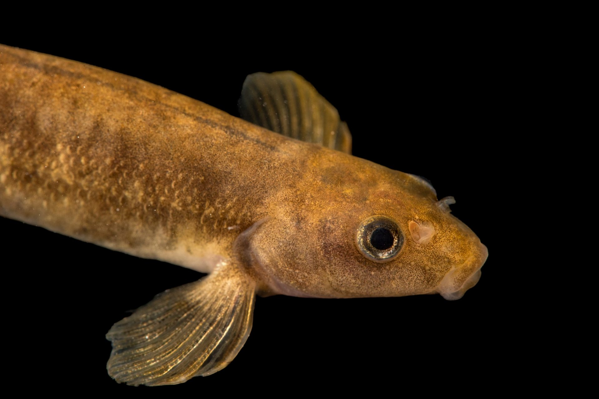 Photo: Loach minnow (Rhinichthys cobitis) at the Aquatic Research and Conservation Center.