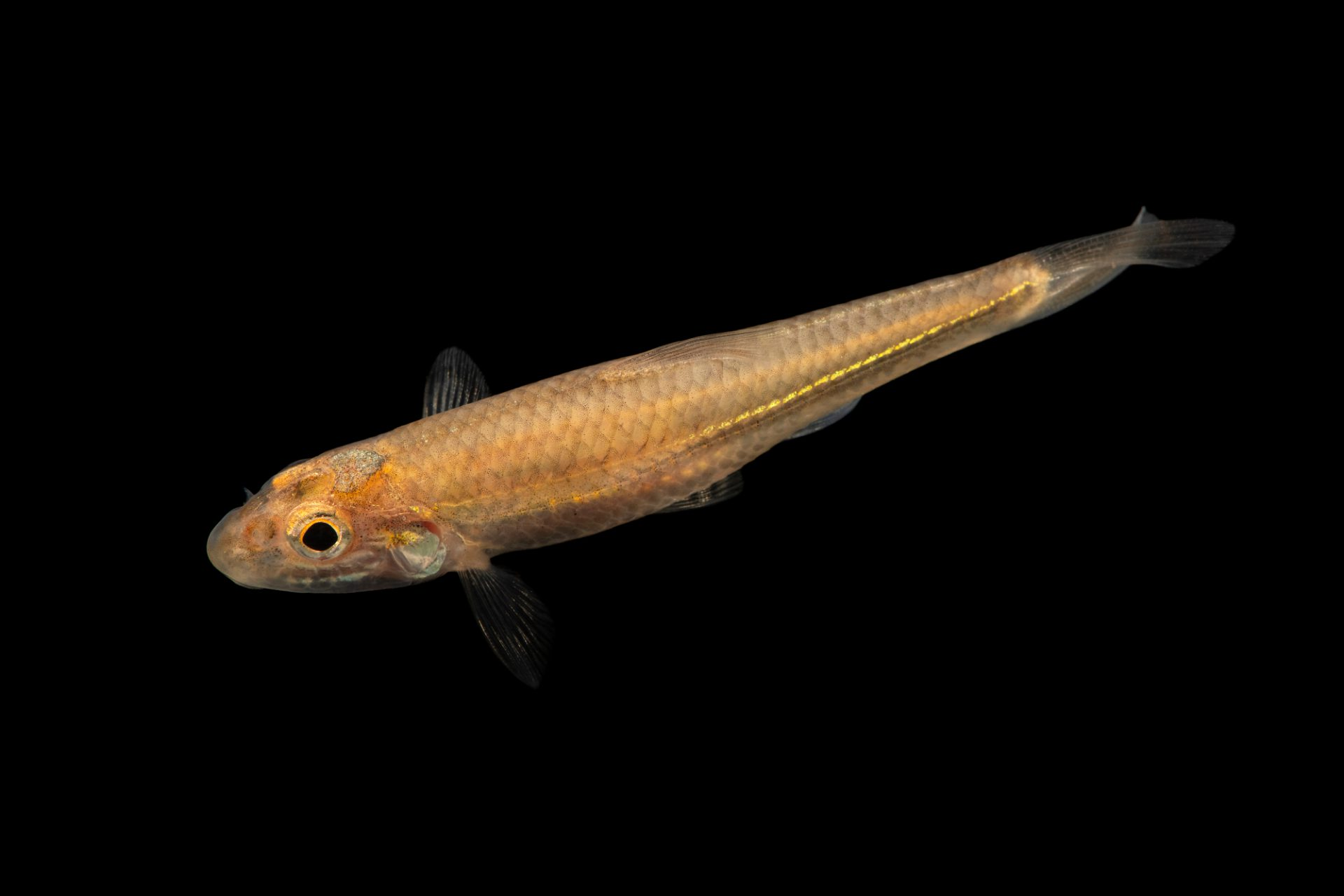Photo: A Longjaw minnow (Ericymba amplamala) at the Auburn University Natural History Museum.