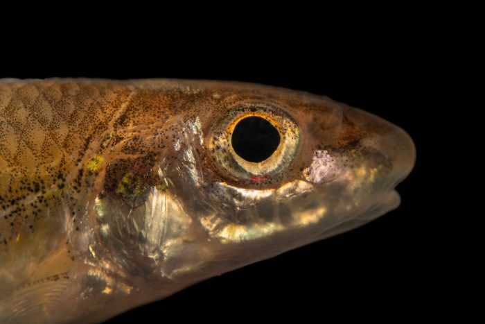 Photo: A Longjaw minnow (Ericymba amplamala) at the Auburn University Natural History Museum.