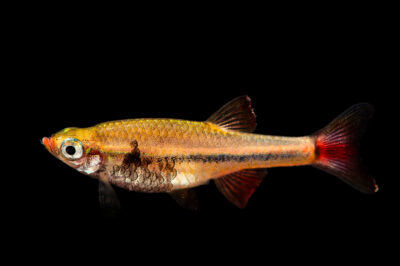 Photo: A Vietnamese white cloud minnow (Tanichthys micagemmae) photographed at Zoo Plzen.