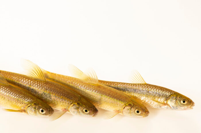 Photo: Brassy minnows (Hybognathus hankinsoni) at Schramm Education Center near Gretna, NE.