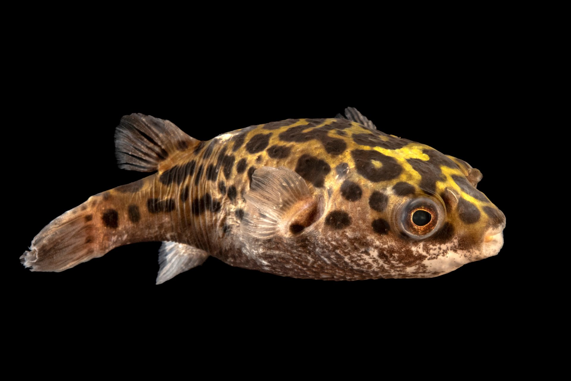 Photo: Spotted puffer (Tetraodon fluviatilis) at the Oklahoma City Zoo.