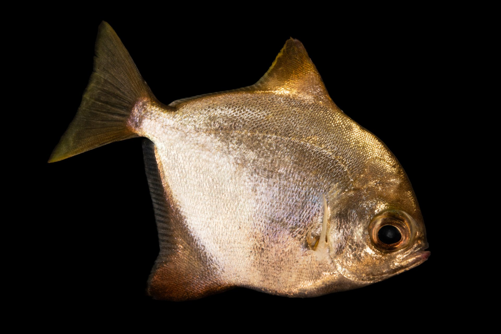 Photo: Diamond fingerfish (Monodactylus argenteus) at the Oklahoma City Zoo.