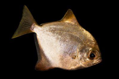 Photo: Diamond fingerfish (Monodactylus argenteus) at the Oklahoma City Zoo.