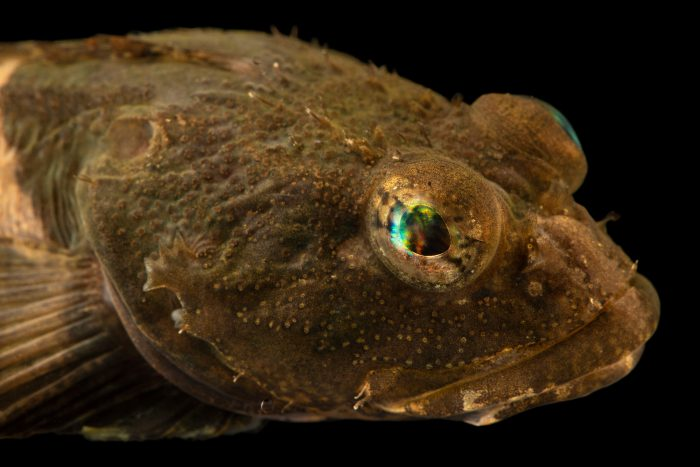 Photo: Buffalo sculpin (Enophrys bison) at East Bay Regional Park District.