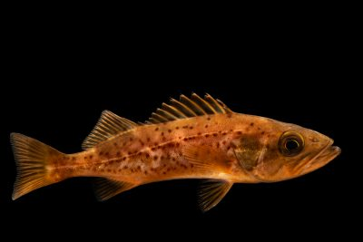 A federally endangered Bocaccio rockfish (Sebastes paucispinis) at East Bay Regional Park District.
