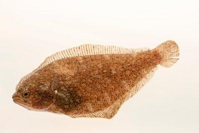 Photo: Speckled sanddab (Citharichthys stigmaeus) at East Bay Regional Park District.