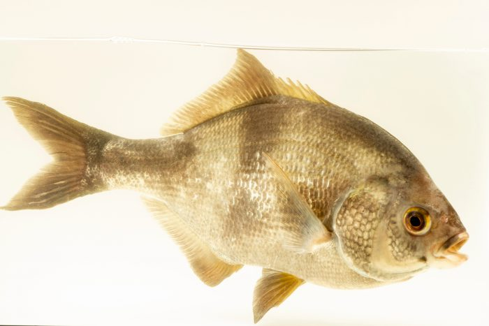 Photo: Pile surfperch (Rhacochilus vacca) at East Bay Regional Park District.