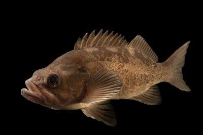 Photo: Black rockfish (Sebastes melanops) at East Bay Regional Park District.