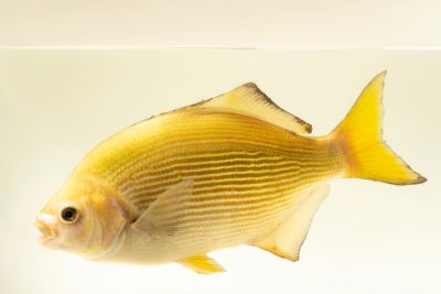 Photo: Striped surfperch (Embiotoca lateralis) at East Bay Regional Park District.