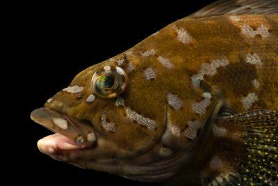 Photo: Kelp greenling (Hexagrammos decagrammus) at East Bay Regional Park District.