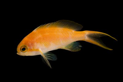 Photo: Green cheek anthias (Pseudanthias hutchi) at the Omaha Zoo.