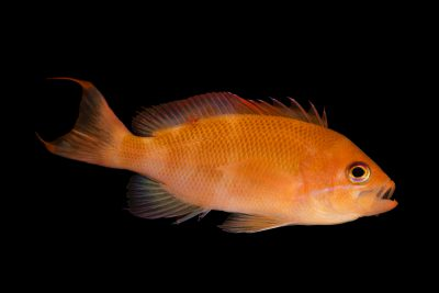Photo: A stocky anthias (Pseudanthias hypselosoma) at the Omaha Zoo.