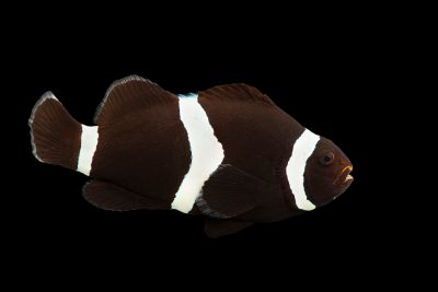 Photo: Ocellaris clownfish or black clown fish (Amphiprion ocellaris) at the Omaha Zoo.