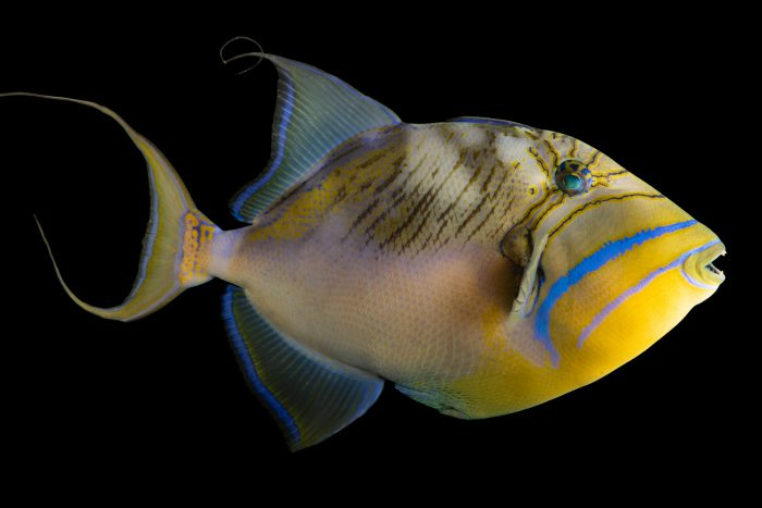 Photo: Queen triggerfish (Balistes vetula) at the Omaha Zoo.