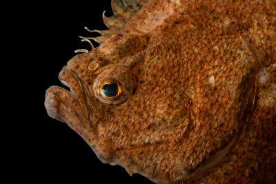 Photo: Pacific sand sole (Psettichthys melanostictus) at Ripley's Aquarium of Canada.
