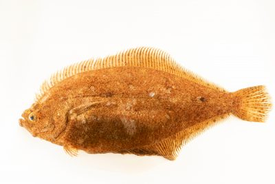 Photo: Pacific sand sole (Psettichthys melanostictus) at Ripley's Aquarium of Canada.