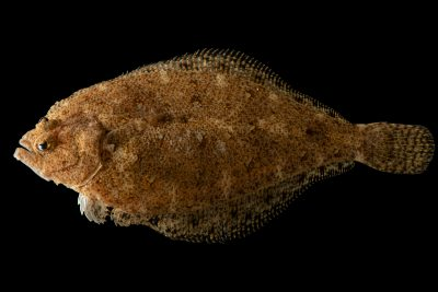 Photo: Pacific sanddab (Citharichthys sordidus) at Ripley's Aquarium of Canada.