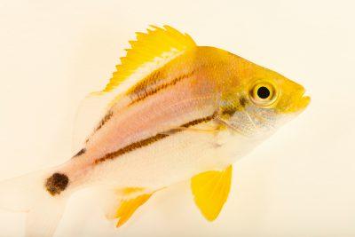 Photo: Porkfish (Anisotremus virginicus) at Ripley's Aquarium of Canada.