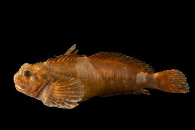 Photo: Mosshead sculpin (Clinocottus globiceps) at Ripley's Aquarium of Canada.