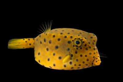 Photo: Yellow boxfish (Ostracion cubicus) at Ripley's Aquarium of Canada.