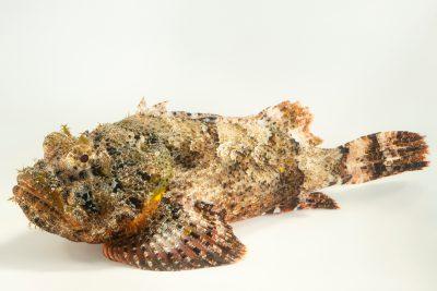 Photo: Spotted scorpionfish (Scorpaena plumieri) at Ripley's Aquarium of Canada.