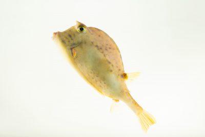 Scrawled cowfish (Acanthostracion quadricornis) at Ripley's Aquarium of Canada.