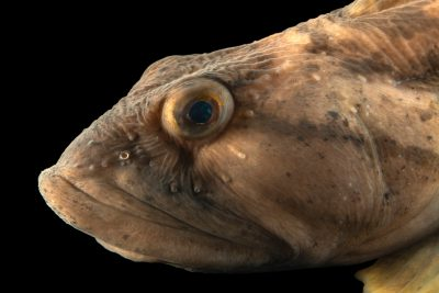 Photo: Ocean pout (Zoarces americanus) at Ripley's Aquarium of Canada.