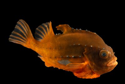 Photo: Lumpfish (Cyclopterus lumpus) at Ripley's Aquarium of Canada.