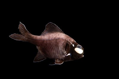 Photo: Eyelight fish (Photoblepharon palpebratum) at the Dallas World Aquarium.
