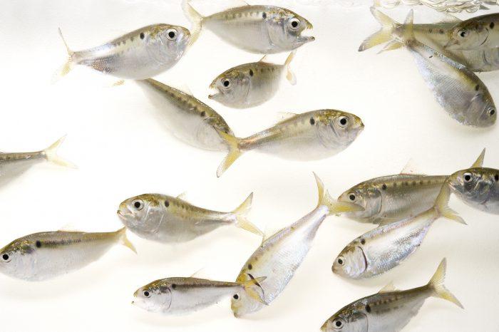 Photo: Gulf menhaden fish, Brevoortia patronus.
