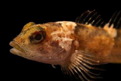 Photo: A critically endangered pygmy sculpin (Cottus paulus) at the Fish Biodiversity Lab, Auburn University, Auburn, Alabama.