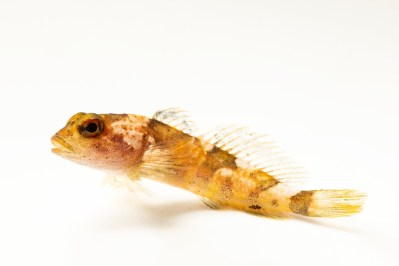Photo: A critically endangered pygmy sculpin (Cottus paulus) at the Fish Biodiversity Lab, Auburn University, Auburn, Alabama.