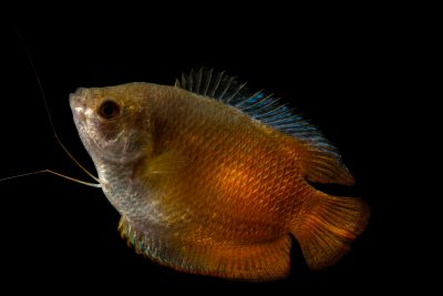 Photo: A red phase powder blue gourami (Colisa lalia) at the Fish Biodiversity Lab, Auburn University, Auburn, Alabama.